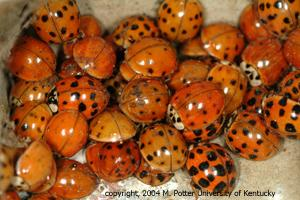 Asian lady bugs populations