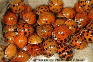 Asian ladybug migration