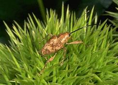 Large Chestnut Weevil Adult