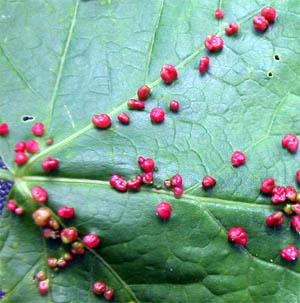 Maple Bladder Galls