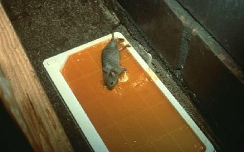 Control de los ratones entomology - Ratones en casa ...