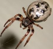 Urban Spider Chart | Entomology