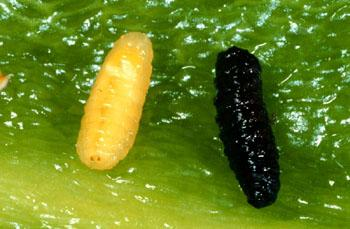 Pepper maggot larva and pupa on green pepper