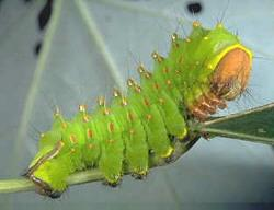 Polyphemus Caterpillar