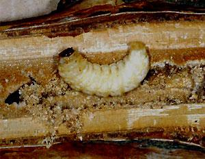 raspberry crown borer larva