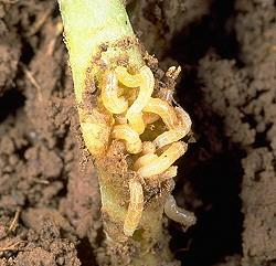 Seedcorn Maggot Damage