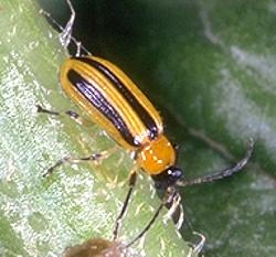 Cucumber Beetles | Entomology