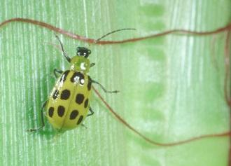 Southern corn rootworm adult.