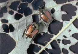 Adult Japanese beetles