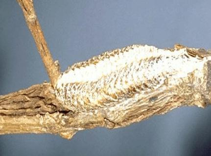 Mantid ootheca (egg case)