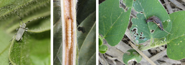 soybean pests