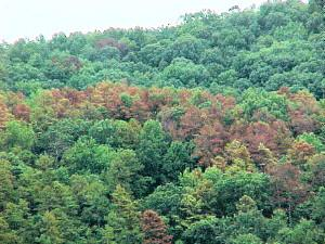 Trees killed by SPB in Red River Gorge, KY
