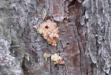 Southern Pine Beetle exit hole