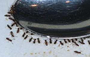 Las hormigas de casa olorosas rebuscan dentro de la casa y se alimentan de todos tipos de comida, desde la basura hasta la cocina.
