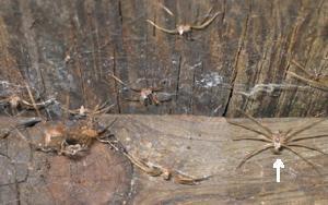 Las pieles mudadas de la reclusa marrón