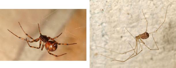 Dos tipos de arañas inofensivas