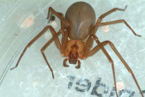La reclusa marrón adulta