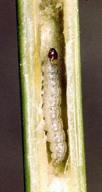 ECB Larva