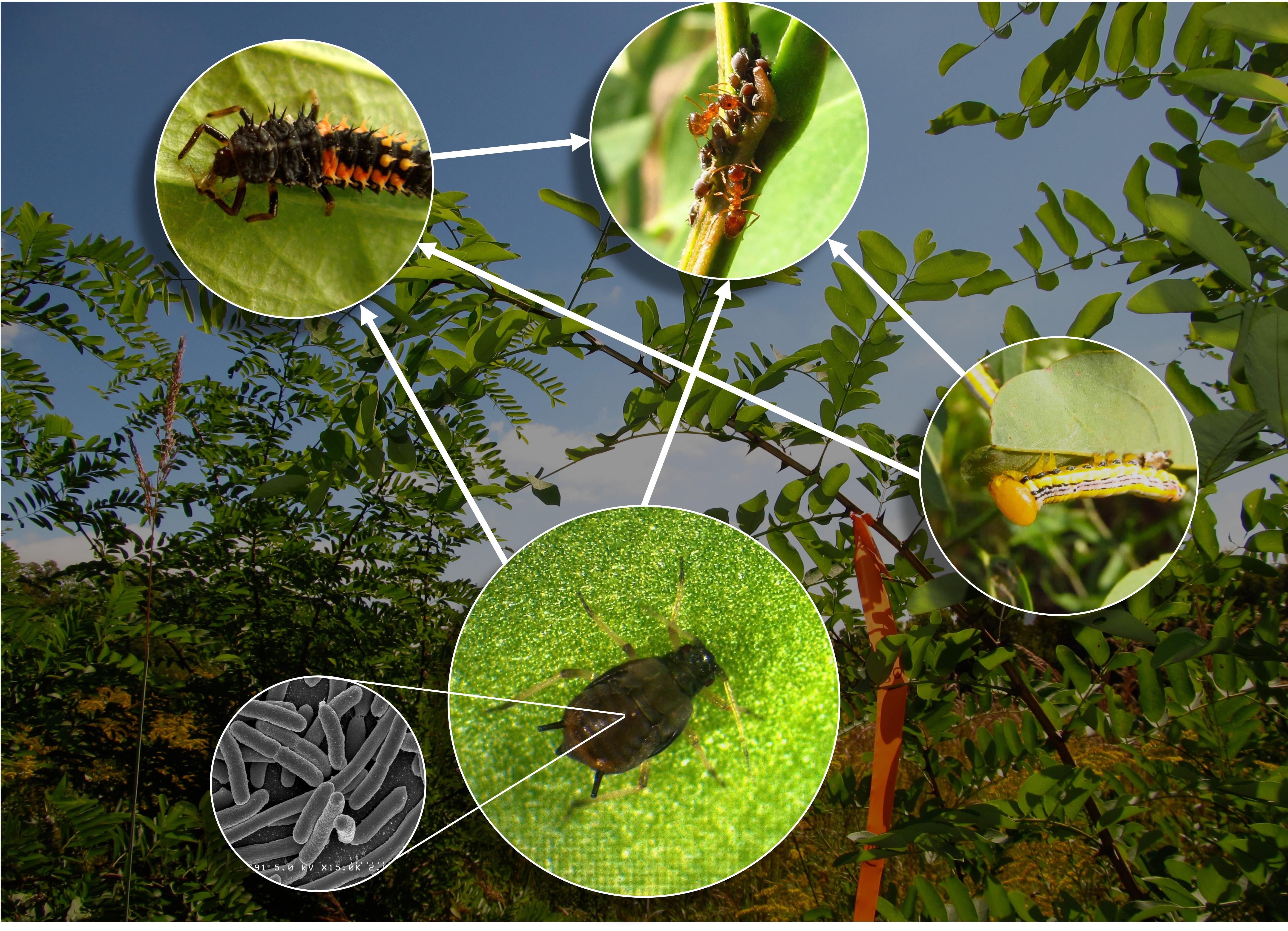 Cowpea aphid system