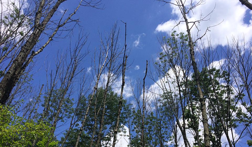 Ash canopy thinning
