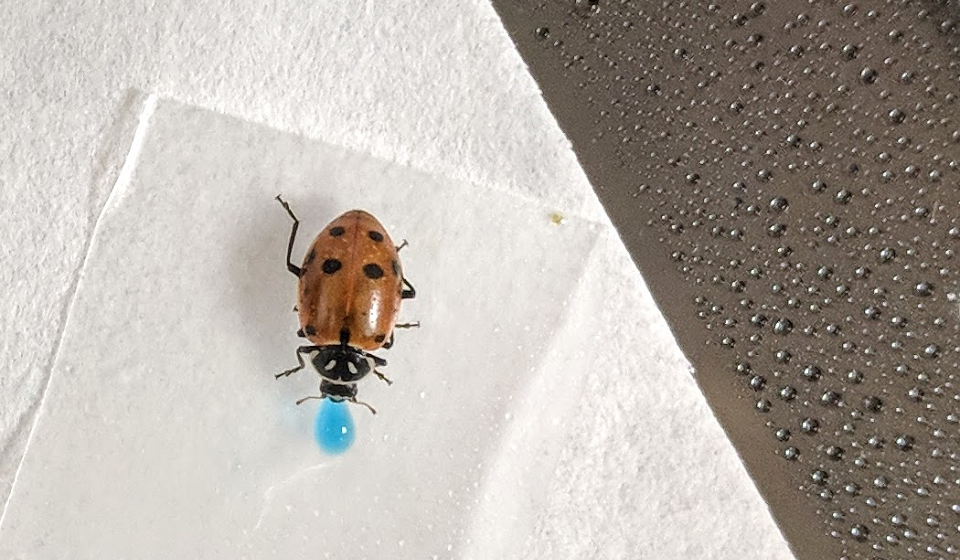 Lady beetle ingests dsRNA to evaluate non-target effects