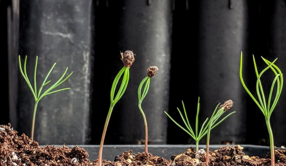 Loblolly pine seedlings are used to evaluate in planta delivery of dsRNA